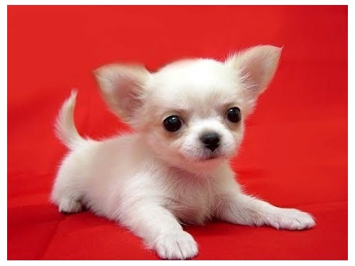 Lovable Chihuahua Puppies