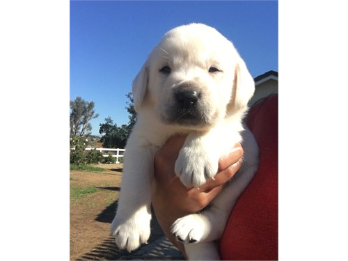English Labrador puppies