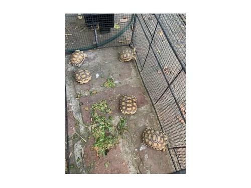 Baby sulcatta tortoises