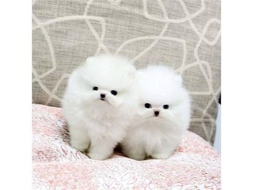 Cute Pomeranian puppies