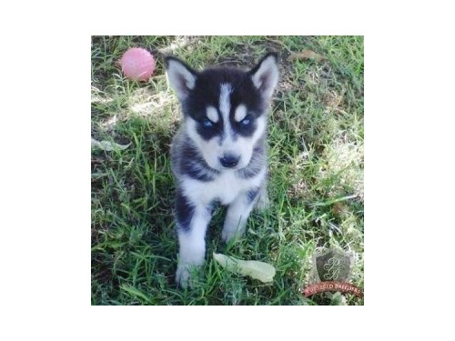 Adorable Siberian Huskies