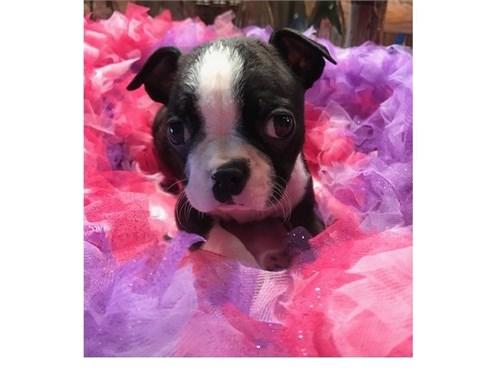 Cute Boston Terrier Pups