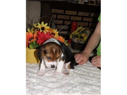 Fantastic Beagle Puppies