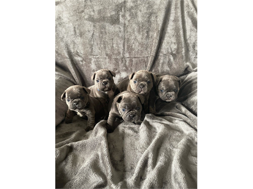 Cute French bulldog pups