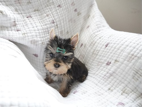 Teacup Yorkie Boy