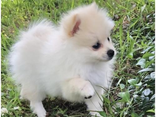 Cutest T-cup Pomeranian