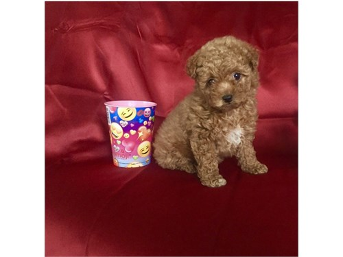 SMALL MALTIPOO PUPPIES