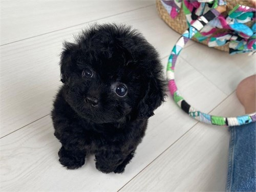 Top Quality Toy Poodle...