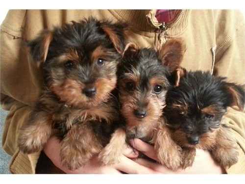 5 adorable yorkie puppy