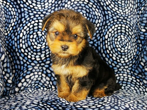 Small Morkie Puppies