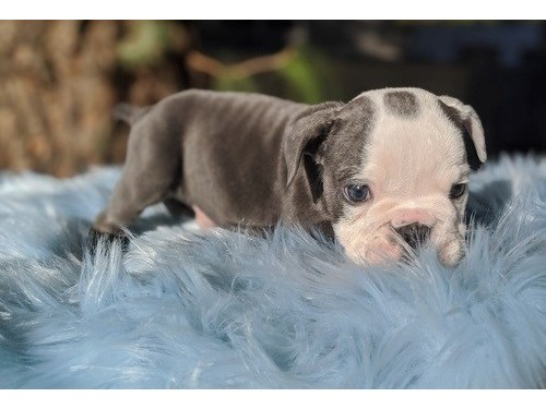 Doku English Bulldog pups