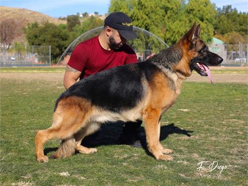 German Shepherd Stud