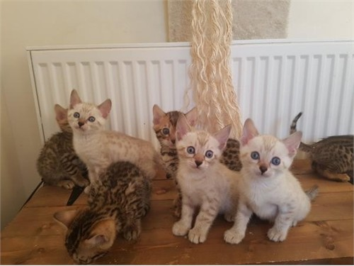 bengal Kittens Ready