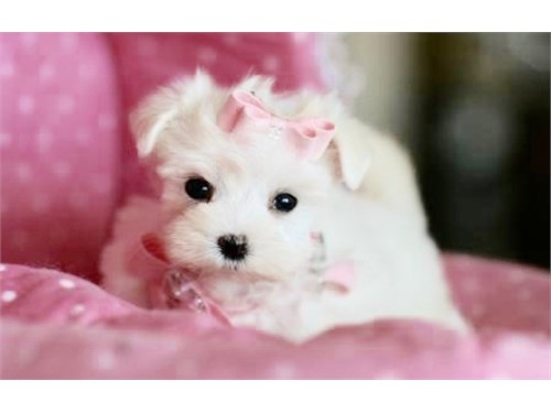 T CUPS MALTIPOO PUPPIES