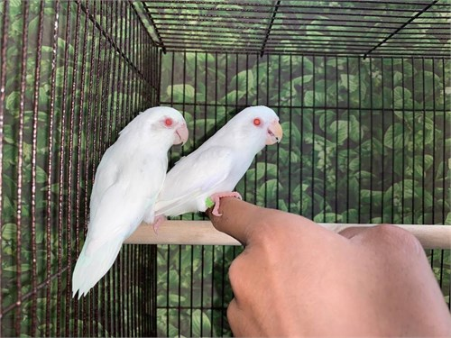 Pair of Albino Parrotlets