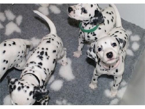Fully Dalmatian Puppies