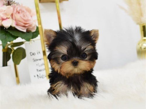 Yorkie,Puppies,For,Sale,