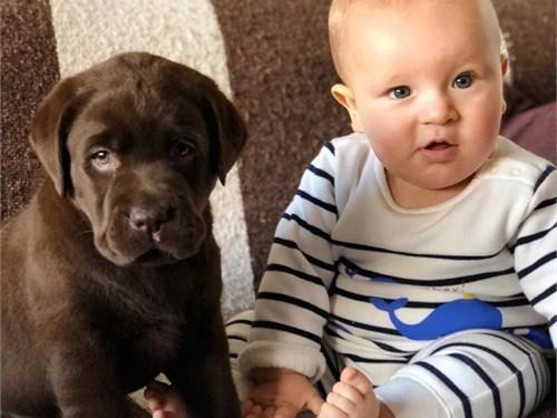 registered Labrador pups