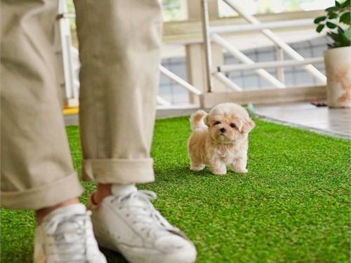 Teacup Maltipoo Pups