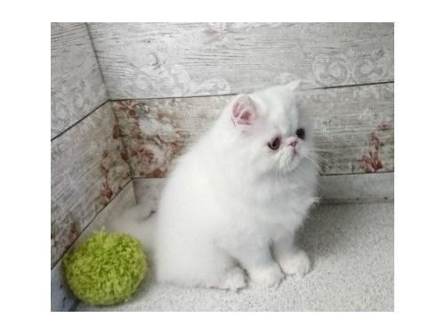 gfdjh Persian kittens