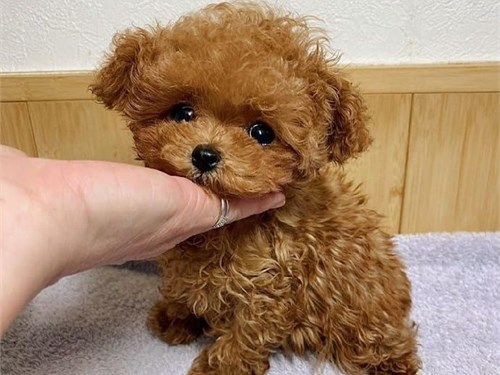 toy poodle available