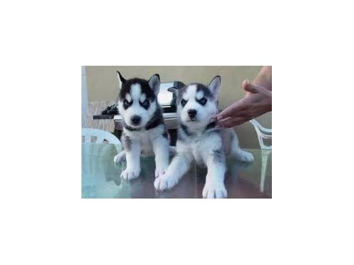 Husky Pups Available for