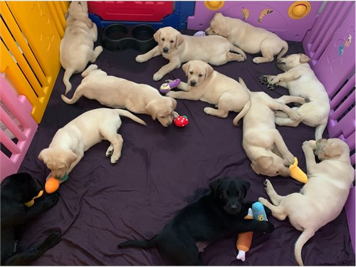 Black and Yellow Lab pups