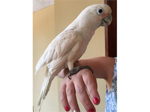 Trained Goffin's Cockatoo