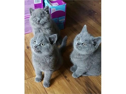 Blue BSH Kittens