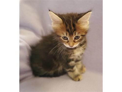 Maine Coon kitten's