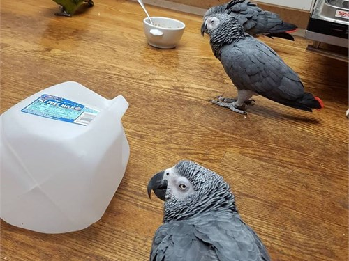 Parrots And Parrot Eggs Pets Long Beach Ca Recycler Com