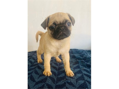 Pugs puppy