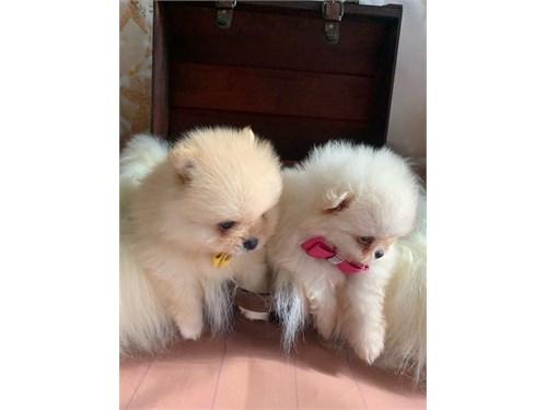 Tiny Fluffy Pomeranians