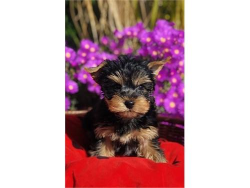 Yorkshire Terrier, Teddy