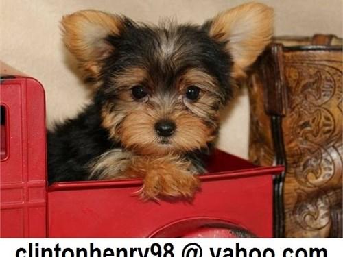Sali Yorkie Puppies