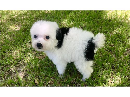 Poodle/Toy-female