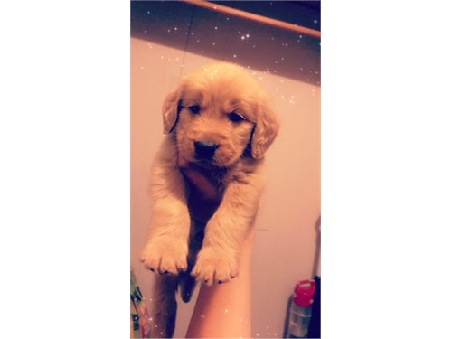Female Golden Retriever