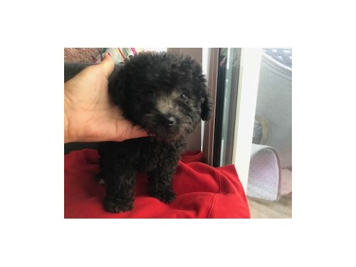 Maltipoo for sale