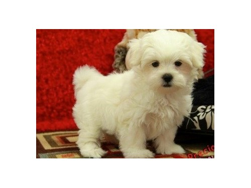 KC registered Malshi pups