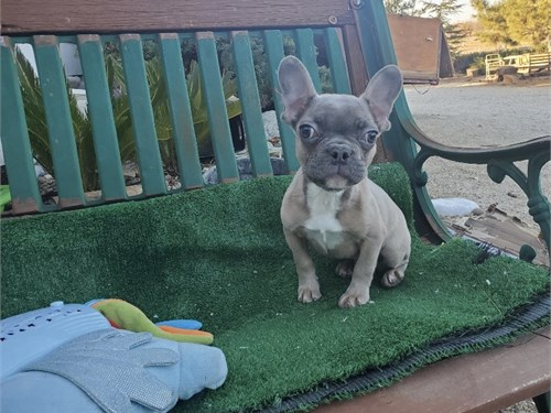 AKC French Bulldog