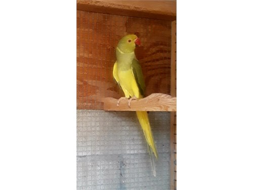 indian ringnecks for sale