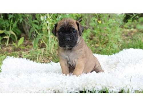 Superb Bullmastiff pups