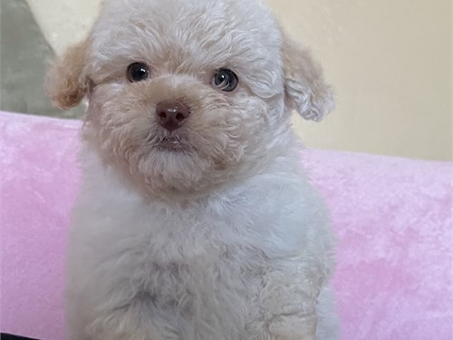 bundle of joy maltipoo