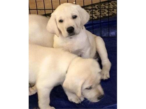 Lab Pups-AKC Full Reg.