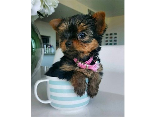 Adorable yorkies