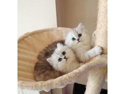 calm Scottish fold kitten
