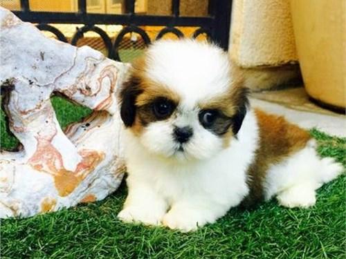 Precious Shih Tzu Pups