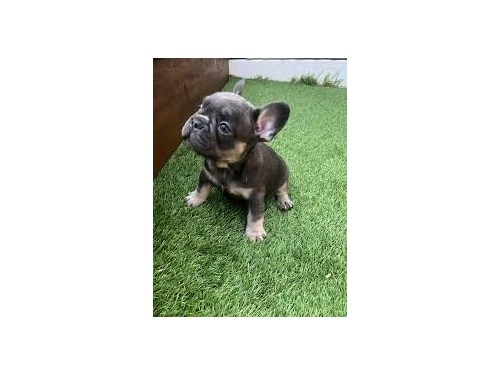 Great french bull pups