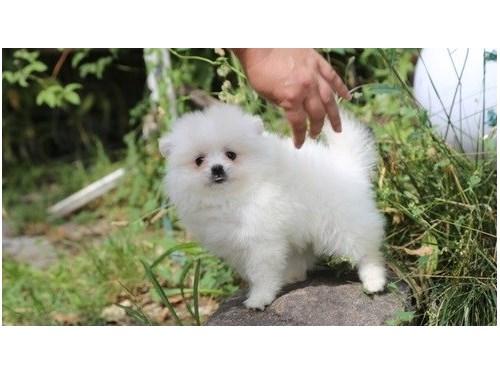 Gorgeous Pomeranian
