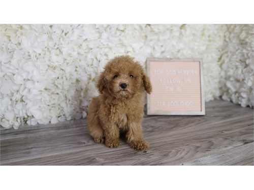 Poodle puppy puppies